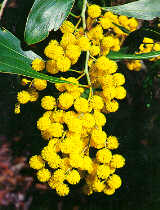 Who Remembers Wattle Day?